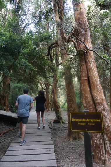 Caminata Bosque Arrayanes
